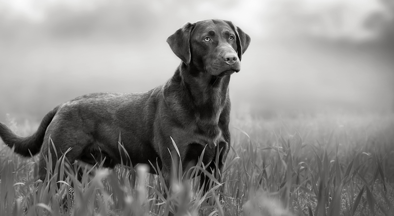 Black and white image of a dog standing in grass