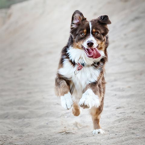 Brown and white dog running