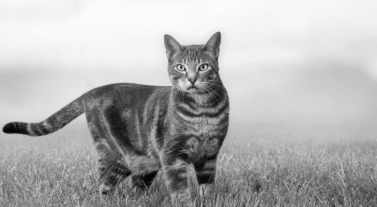 Black and white image of a cat standing in grass